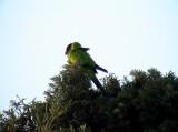 Nanday Parakeet Nandayus nenday