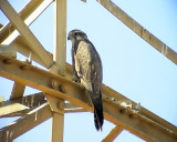 Tatarfalk Saker Falco cherrug