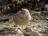 Stenökenlärka Desert Lark Ammomanes deserti