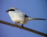 Ökenvarfågel Sothern Grey Shrike Lanius meridionalis