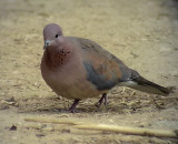 Palmduva Laughing Dove Streptopelia senegalensis