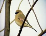 Ökenfink Desert Finch Rhodospiza obsoleta