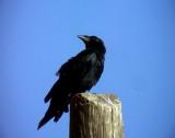 Kortstjärtad korp Fan-tailed Raven Corvus rhipdurus