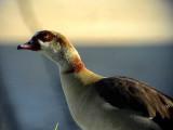 Nilgås  Egyptian Goose Alopochen aegyptiacus
