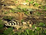 Härfågel European Hoopoe Upupa epops