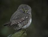 SparvugglaEurasian Pygmy Owl  Glaucidium passerinum