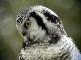 Hökuggla  Northern Hawk Owl  Surnia ulula