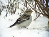 Snösparv Snow Bunting Plectrophenax nivalis