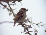 Stenknäck Hawfinch Coccothraustes coccothraustes