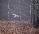 Lappuggla Great Grey Owl Strix nebulosa