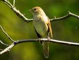 Näktergal Nightingale Luscinia luscinia