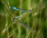 Sjöflickslända Blue-tailed Damselfly Enallagma cyathigerum