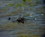 Större sjötrollslända Black-tailed Skimmer Orthetrum cancellatum