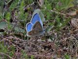 Väpplingblåvinge - Turquoise Blue - Polyommatus dorylas