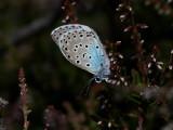 Svartfläckig blåvinge - Large blue - Maculinea arion