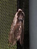 Ligustersvärmare  Sphinx ligustri  Privit Hawk-moth