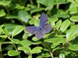 Violett blåvinge  Cranberry blue   Vacciniina optilete