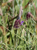 Alkonblåvinge - Alcon Blue - Maculinea alcon