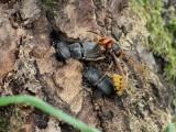 Mindre ekoxe  Dorcus parallelipipedus  Lesser Stag Beetle