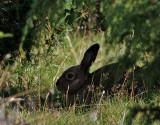 Skogshare  Mountain hare   Lepus timidus