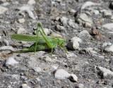 Grön vårtbitare Great Green Bush-Cricket   Tettigonia viridissima