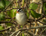 White-cowned Sparrow