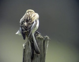 Vinterhämpling Carduelis flavirostris (brevirostris) Twite