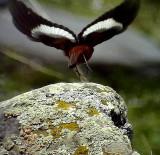Bergrödstjärt Güldenstädt's Redstart  Phoenicurus erythrogaster
