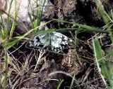 Ryskt schackbräde   Esper's Marbled White   Melanargia russiae