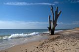 Benacre Tree