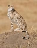cheetah on termite hill.jpg