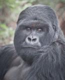 sad female gorillla.jpg