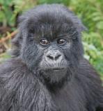 young gorilla.jpg