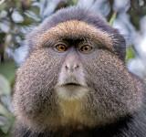 golden monkey portrait.jpg