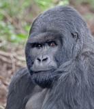 female gorilla.jpg