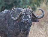 cape buffalo portrait.jpg
