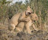 lion cubs play rough.jpg