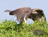 martial eagle.jpg