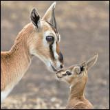 Thomsons gazelle w baby.jpg