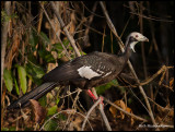Blue-throated Piping Guan.jpg