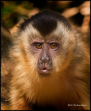 Capuchin monkey face.jpg