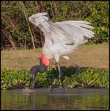 Jabiru Stork (5 ft tall, 9 ft wingspan).jpg