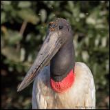 Jabiru Stork portrait.jpg