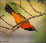 Orange-backed Troupial hanging.jpg