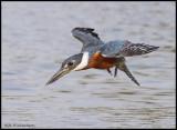 Ring-Necked  kingfisher in flight (male) (1).jpg