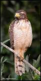 Roadside Hawk.jpg