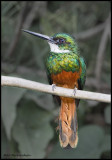 Rufous-tailed Jacamar (male).jpg