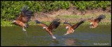 black collared hawk strike sequence.jpg