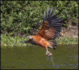 black collared hawk w fish.jpg