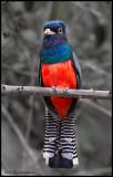 blue crowned trogon.jpg